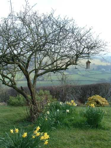 quince tree and daffodils